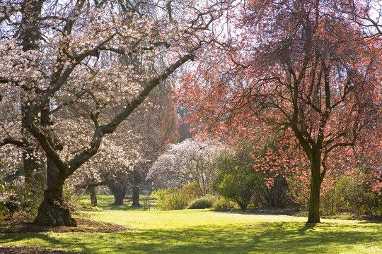 Christchurch Blossom in Hagley Park