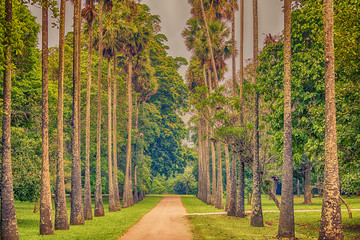 Sri Lanka: alley of palms in Royal Botanic Gardens, Peradeniya, Kandy