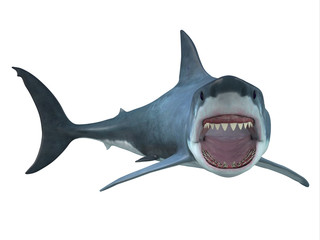 Great White Shark Right Turn - The Great White Shark is the largest predatory shark in the ocean and can grow to 26 feet and can live for 70 years. Wall mural