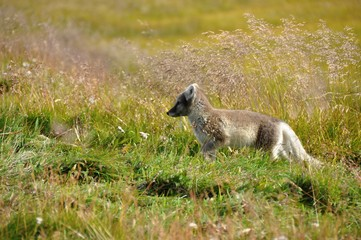 cute silver puppy of arctic fox in summer sun, Iceland