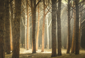 Italian Pine tree misty forest or pinewood. Maremma Tuscany