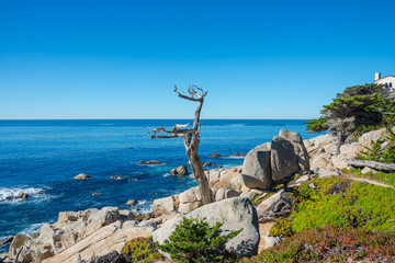 Ghost tree at 17-mile drive, Pebble beach California
