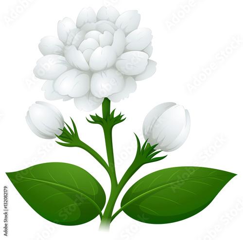 Jasmine flowers on green stem