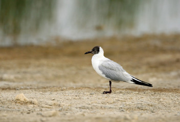 Black-headed gull in Buhair, Bahrain