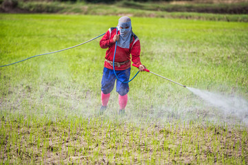 Thailand Man farmer to spray herbicides or chemical fertilizers on the fields green rice growing.