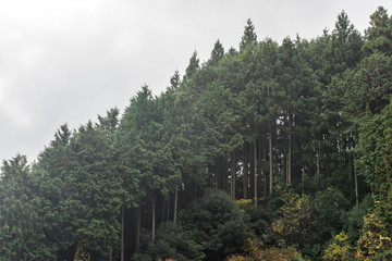 Cedar trees forest covering mountain hill side in autumn.