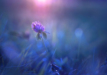 Wall Mural - Beautiful purple lilac clover flower meadow in summer in the sun close-up macro on a soft blurred blue background. Meadow grass outdoors, soft focus, gentle elegant sensual air artistic image.