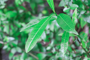 This poisonous and tropical jungle greenery is a leaf that you'll want to stay away from when in the outdoors. Many people plant this dangerous tree accidentally without knowing the risk of rash.