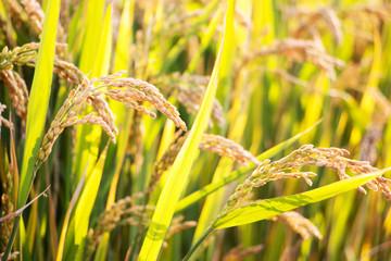 close up of ripe grain in rice field