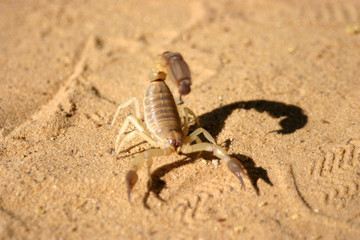 Scorpion crawling in the sand somewhere in the Sahara
