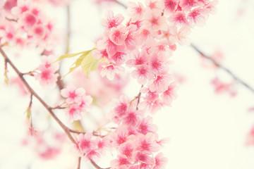 Wall Mural - Vintage tone,Sakura flower