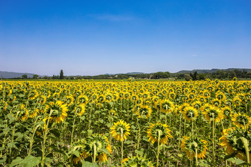 Sunflowers field, Provence, France