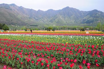 Tulip garden in Srinagar, Kashmir, India
