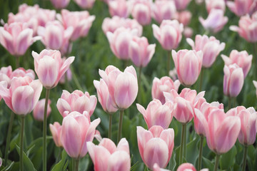 pink fresh tulips. Nature background