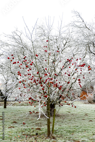 apfelbaum im winter stockfotos und lizenzfreie bilder auf bild 132113619. Black Bedroom Furniture Sets. Home Design Ideas