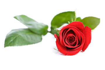 Valentine: Beautiful Red Rose with Water Droplets