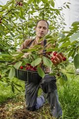 Working in the cherry orchard. Farmer plucks ripe cherries.
