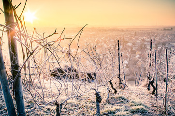 vineyard with winter frost in warm light