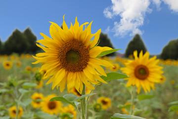 Sonnenblume, Sonnenblumen, Sonnenblumenfeld