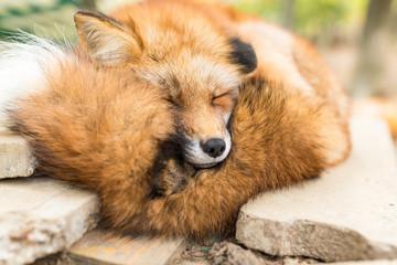 Red fox Wall mural