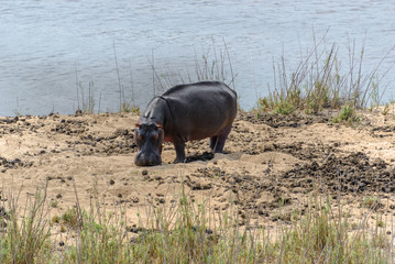 Hippo  in Kruger National Park, South Africa