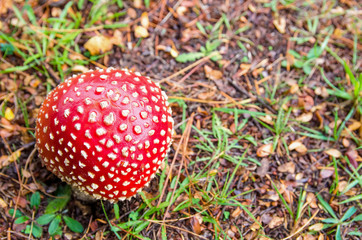 Amanita muscaria also known as fly agaric or fly amanita growing on the grass in New Zealand.