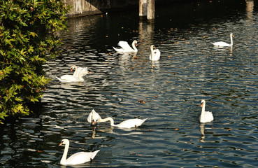 White geese swimming in Limmat river in Zurich, Switzerland