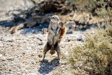 Ground squirrel on its haunches