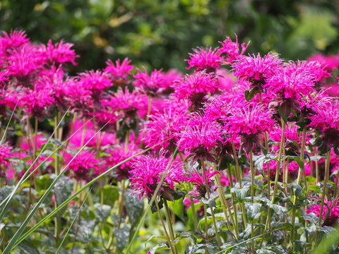 Monarda (bee balm, horsemint, oswego tea, bergamot) in full bloom