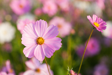 Cosmos flowers blooming in the garden. Winter season.