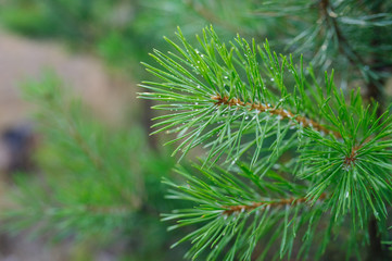green pine branches with drops of dew in the Park