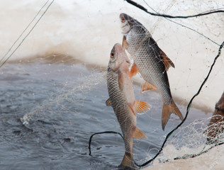 Two freshwater fish caught in a nylon net during ice fishing in Siberia