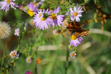 Older butterfly with mangled wings feeding on purple wildflowers
