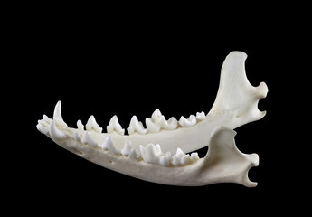 Jaw of desert fox fennec (Vulpes zerda) isolated on a white background.  Lateral view.