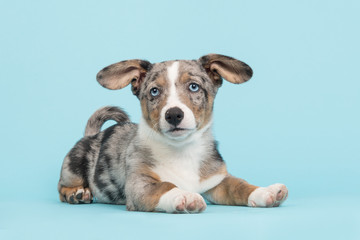 Cute welsh corgi puppy with blue eyes and hanging ears lying down on a blue background