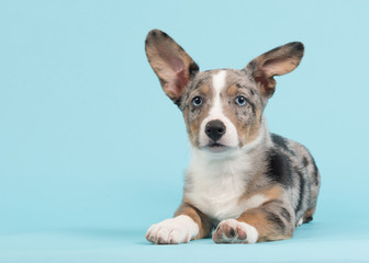 Welsh corgi puppy with one standing and one hanging ear lying down on a blue background