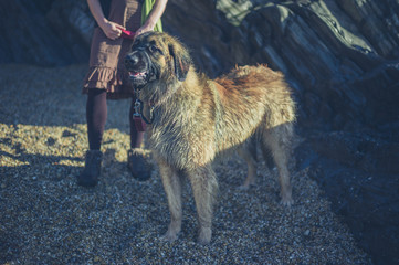 Giant Leonberger dog on beach with owner