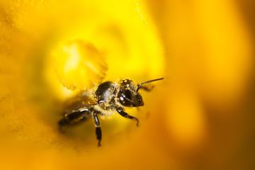 Details of a honey bee inside pumpkin flower