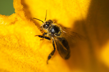 Details of a honey bee inside pumpkin flower