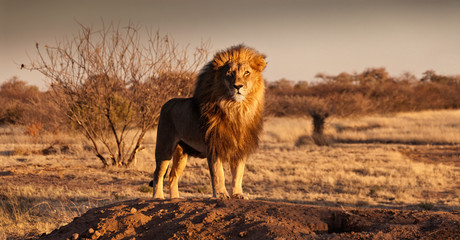 The Lion King stands on a hill