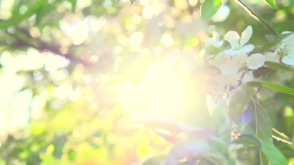 Fotoväggar - Apple tree blooming in spring orchard. Slow motion 240 fps. Full HD video 1080p