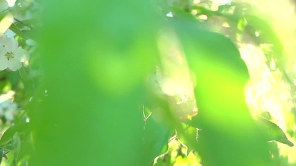 Affisch - Apple tree blooming in spring orchard. Slow motion 240 fps. Full HD video 1080p
