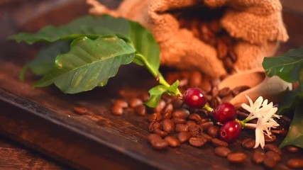 Wall Mural - Coffee beans with real coffee fruits, flowers and leaves on wooden table close up. Red coffee beans and flower on a branch of coffee tree