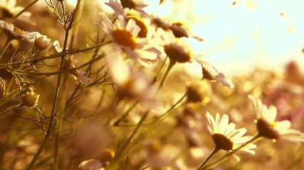 Wall Mural - Blooming Daisy flowers. Beautiful nature scene with blooming medical chamomiles in sun flare. Summer camomille background. Slow motion. Full HD 1080p