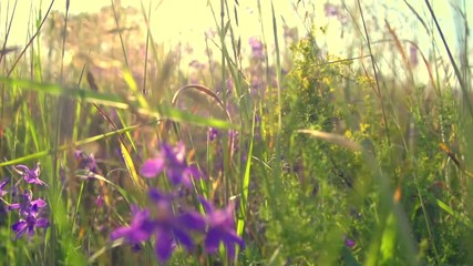 Fotoväggar - Wildflowers plants in a field at sunset, Meadow, nature. Slow motion 240 fps, high speed camera. Full HD 1080p video footage