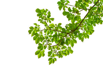 Wall Mural - branch of green leaf isolated on white background