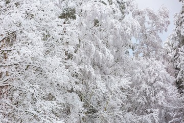 Beautiful winter trees branches with a lot of snow