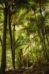 Nikau palms on Great Barrier Island