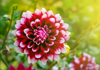 Closeup of dahlia flower in full bloom in  garden with blur background.