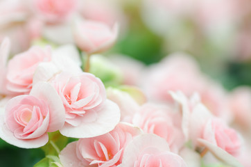 Pink rose begonia blossom in a garden,softness flower background,valentine day